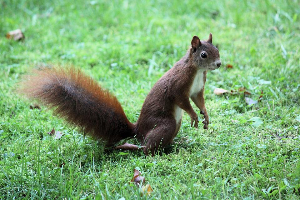 The Squirrel, Standing, Rodent, Animal, Jump, Agile