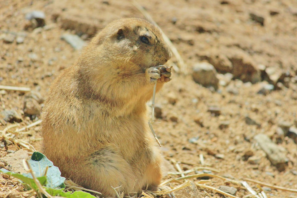 Prairie Dog, Burrowing Rodent, Zoo, Animals, Rodent
