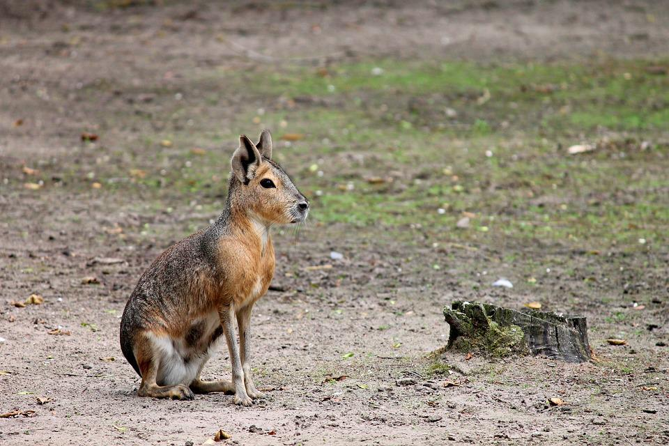 Pampashase, Rodent, Argentina, Dolichotis Patagonum