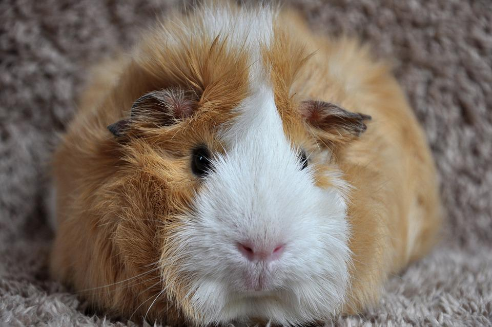 Guinea Pig, Rosette, Buff White, Pet, Rodent, Nager