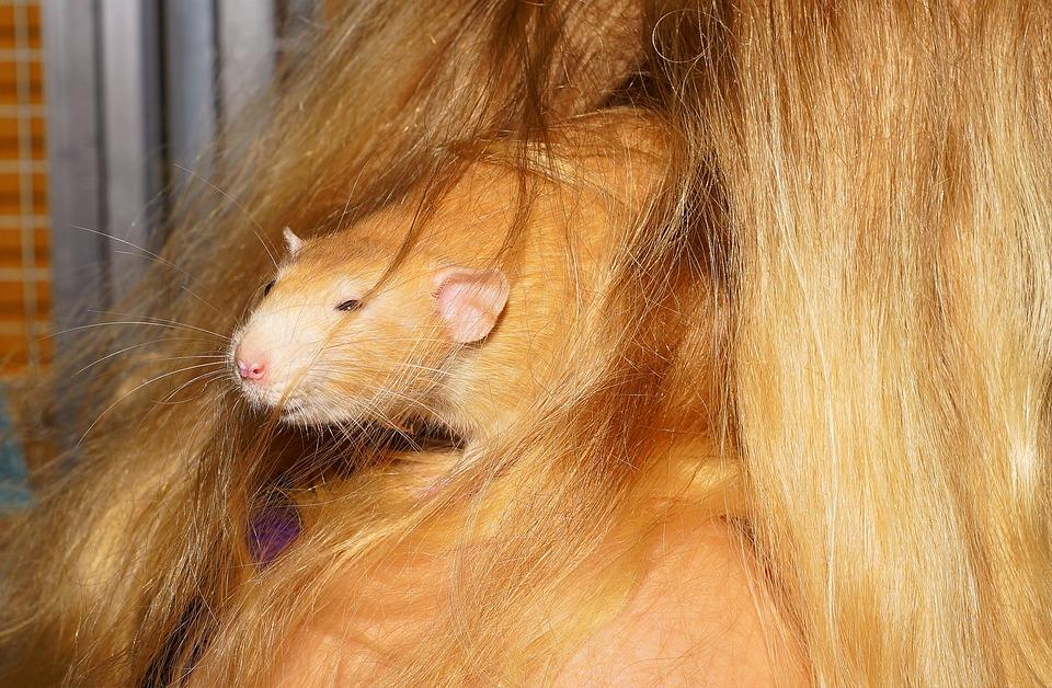 Rat, Close, Hidden, Cute, Fur, Rodent, Nager, Sweet