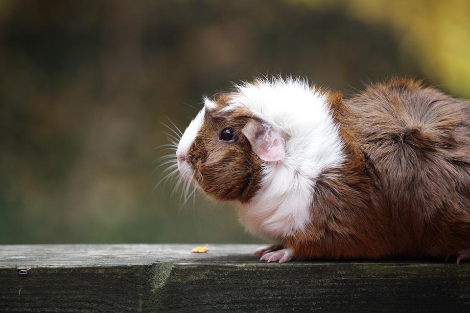 Animal, Guinea Pig, Pet, Cute, Rodent, Cavy, Mammal
