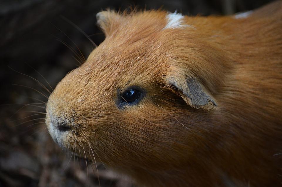Guinea Pig, Scorpionfish, Rodent, Pet