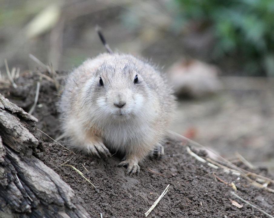 Prairie Dogs, Prériový, Rodent, Mammal, Animal, Tail