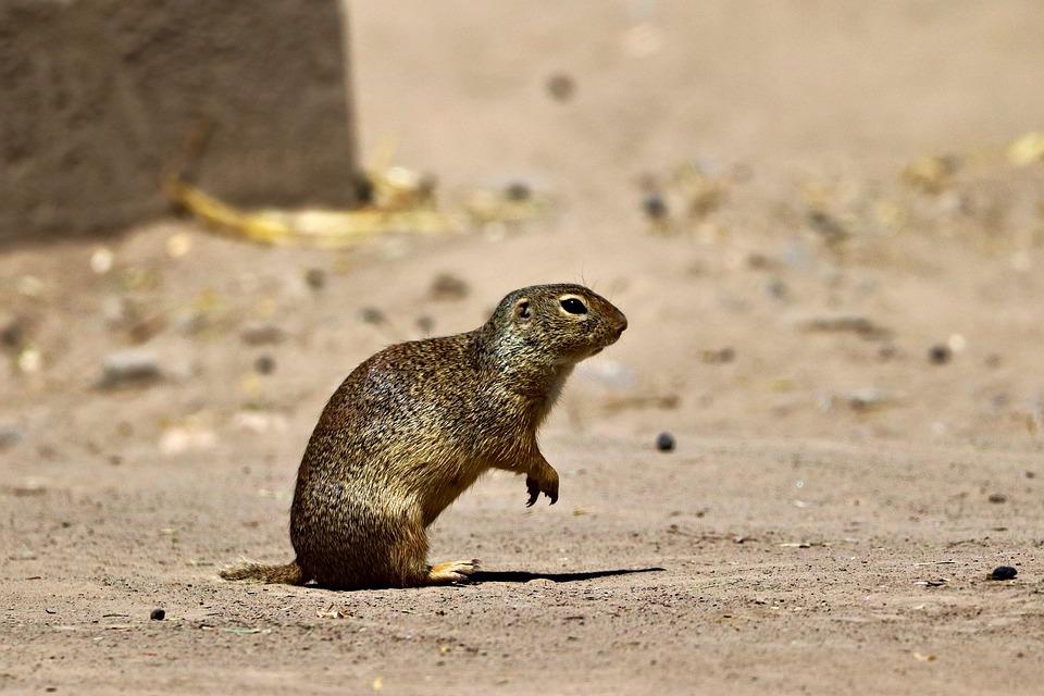 Gopher, Rodent, Desert, Sand, Alert, Shy, Animal