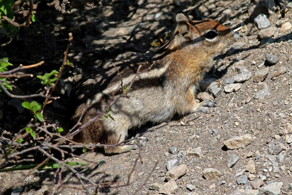 Chipmunk, Squirrel, Striped, Wild, Rodent, Mammal