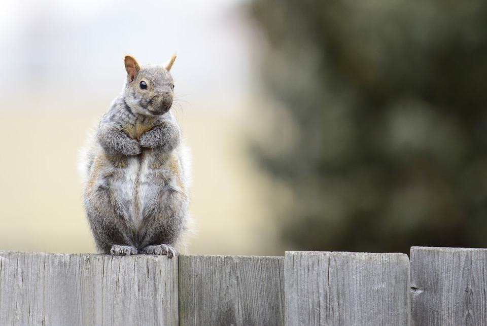 Gray Squirrel, Animals, Rodent, Nature, Wild, Furry