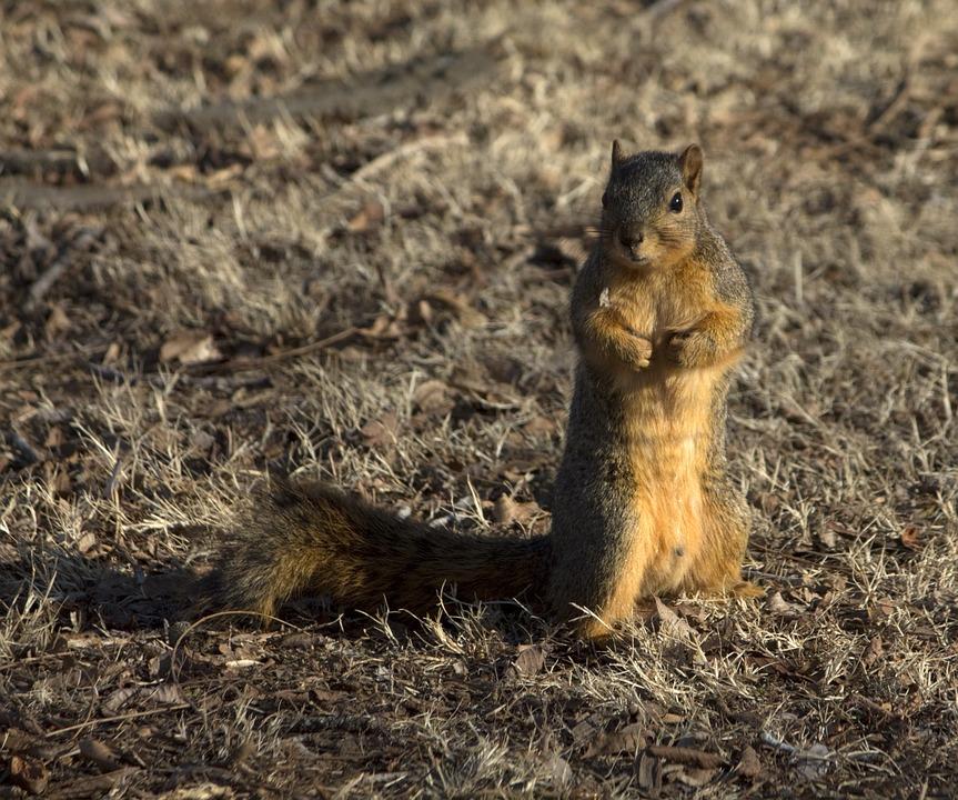 Squirrel, Wildlife, Nature, Wild, Cute, Rodent, Fur