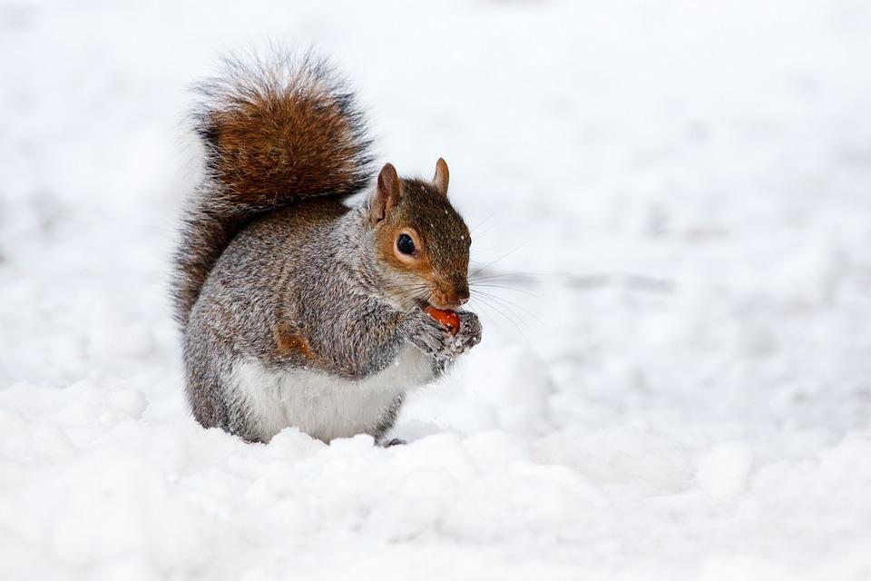 Snow, Animal, Squirrel, Rodent, Mammal, Wildlife