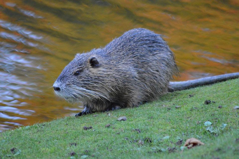 Beavers, Lakes, Wildlife, River, Rodent, Animal