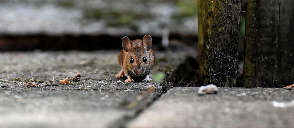 Eye To Eye, Wood Mouse, Rodent, Nager, Foraging, Mouse
