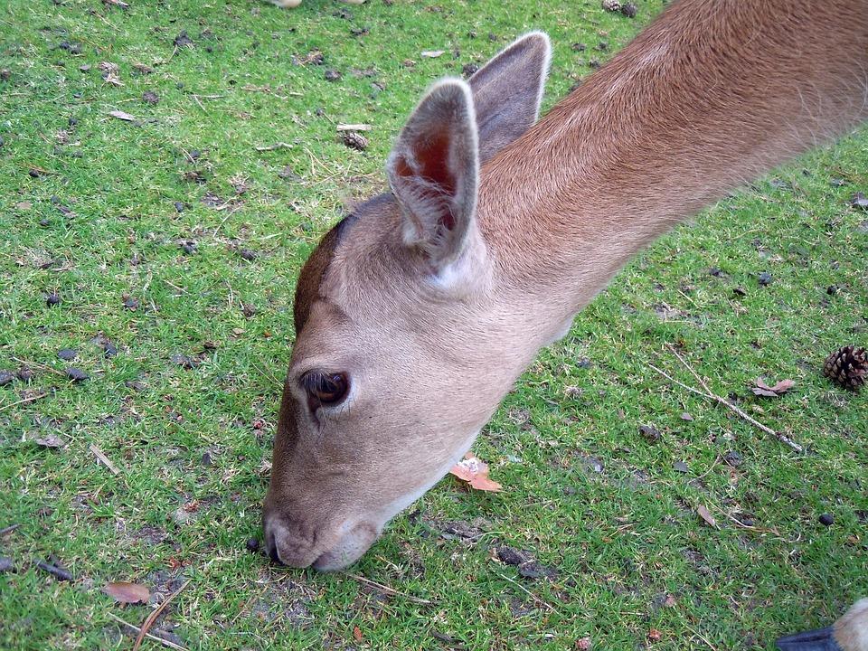 Roe Deer, Fallow Deer, Head, Graze, Eat, Mammal, Close