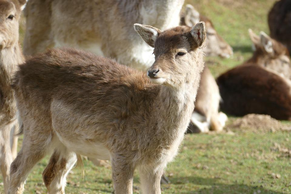 Nature, Animals, Wild, Roe Deer, Kitz