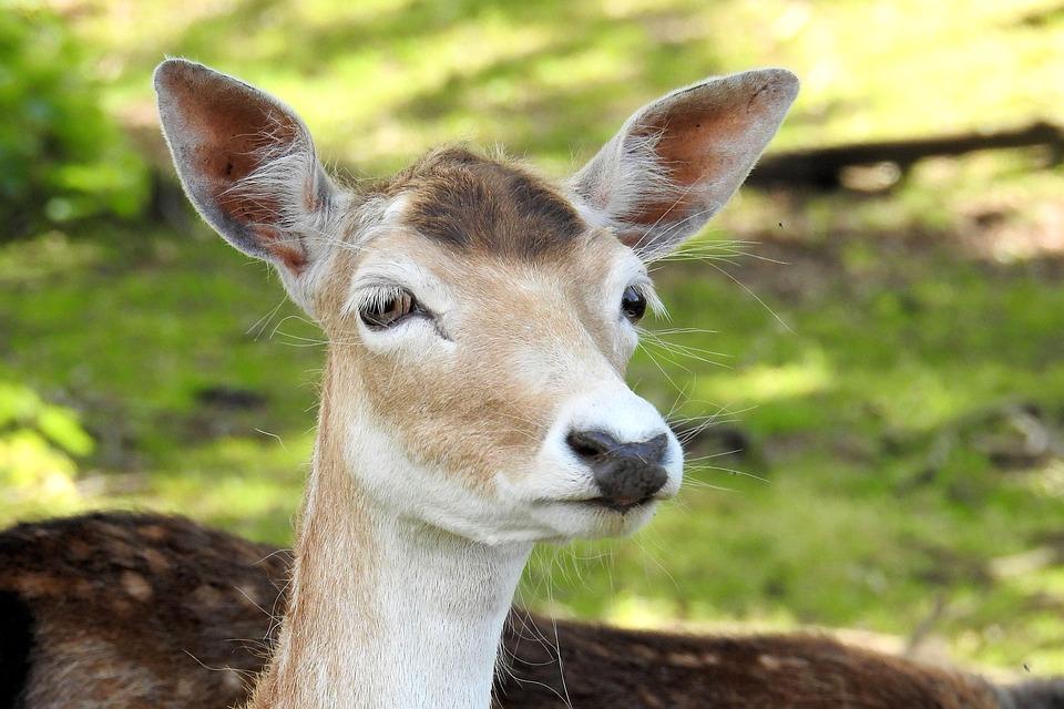 Free photo Roe Deer Nature Animal Fallow Deer Mammal - Max Pixel