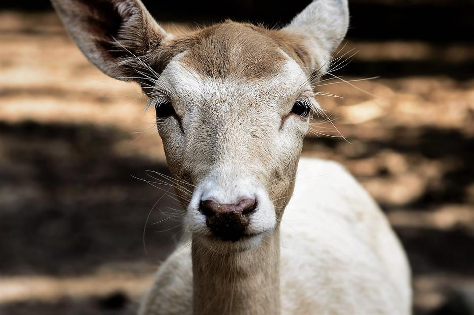 Roe Deer, Wild, Fallow Deer, Scheu, Nature, Animals