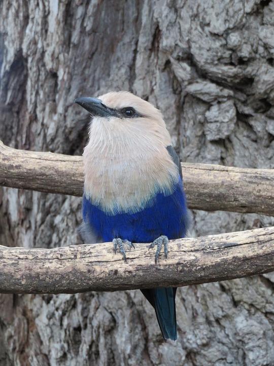 Blue, Roller, Bird, Feathers, Beak, Wings, Tree