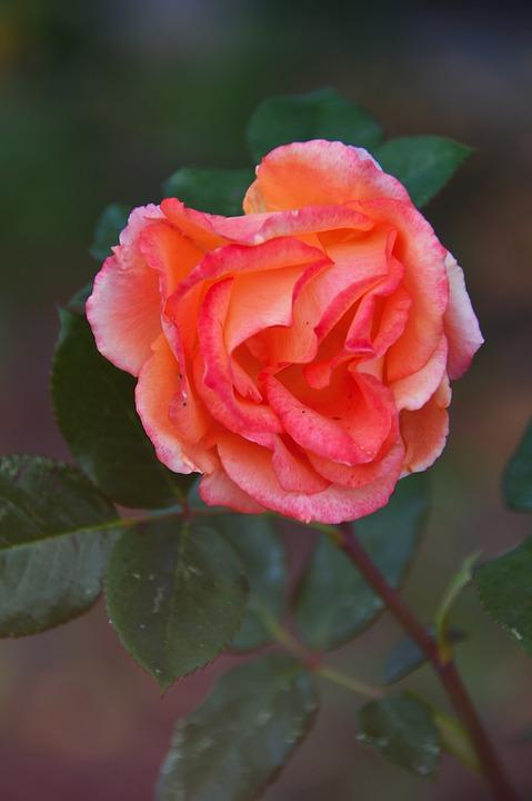 Rose, Autumn, Autumn Rose, Flower, Nature, Romance