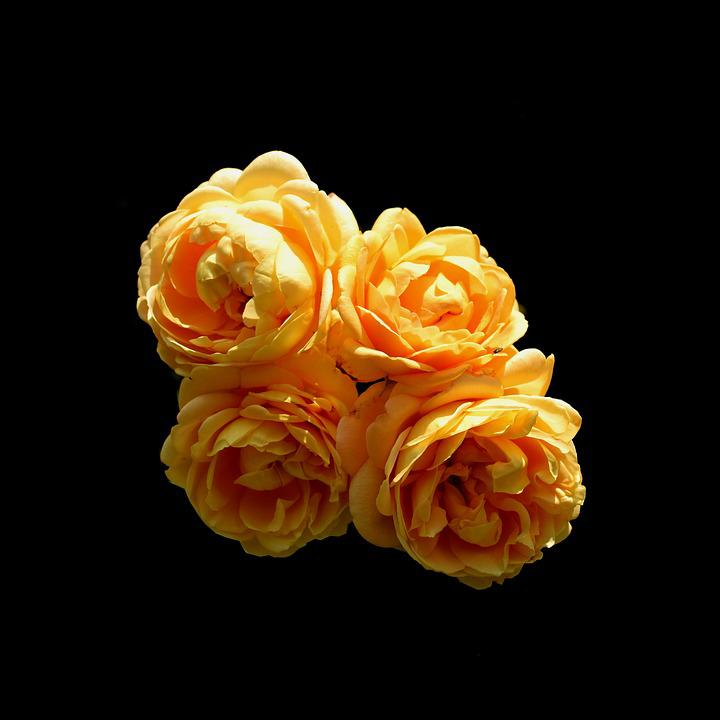 Rose, Yellow, Flower, Bloom, Romance, Orange, Four