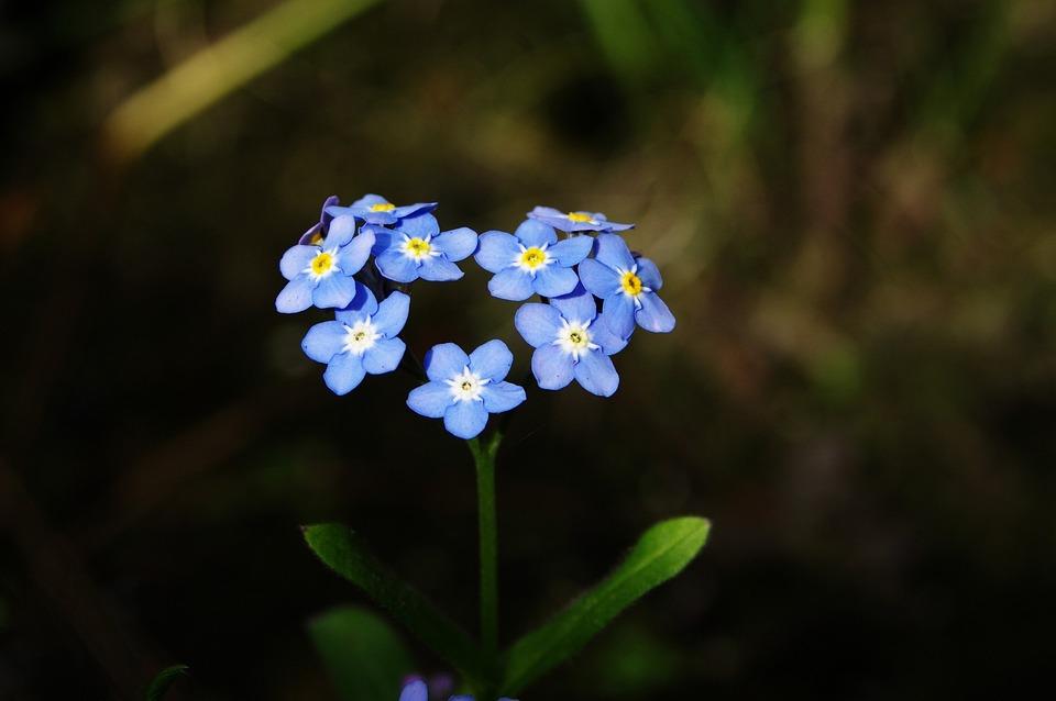 Forget-me-not, Flower, Heart, Love, Romance, Myosotis
