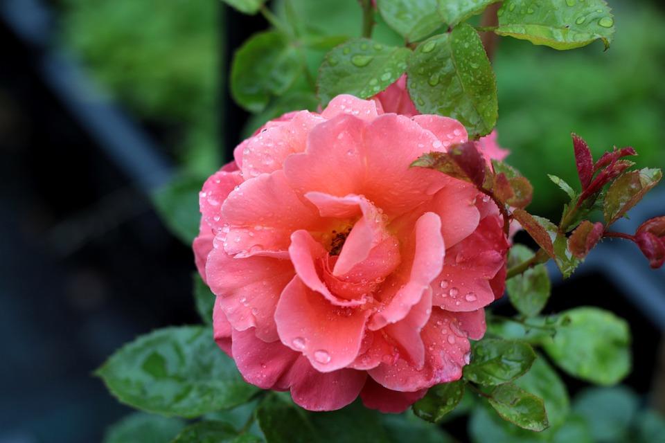 Rose, Raindrops, Flower, Love, Romance, Beauty, Petals