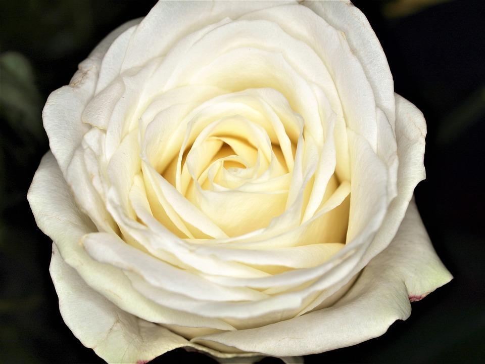 Flower, Rose, Petal, Gift, Love, Romance