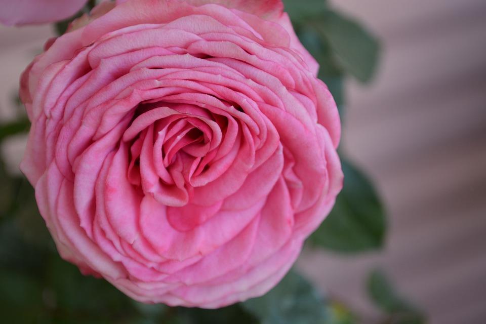 Rose, Dusky Pink, Color, Romantic, Rose Bloom