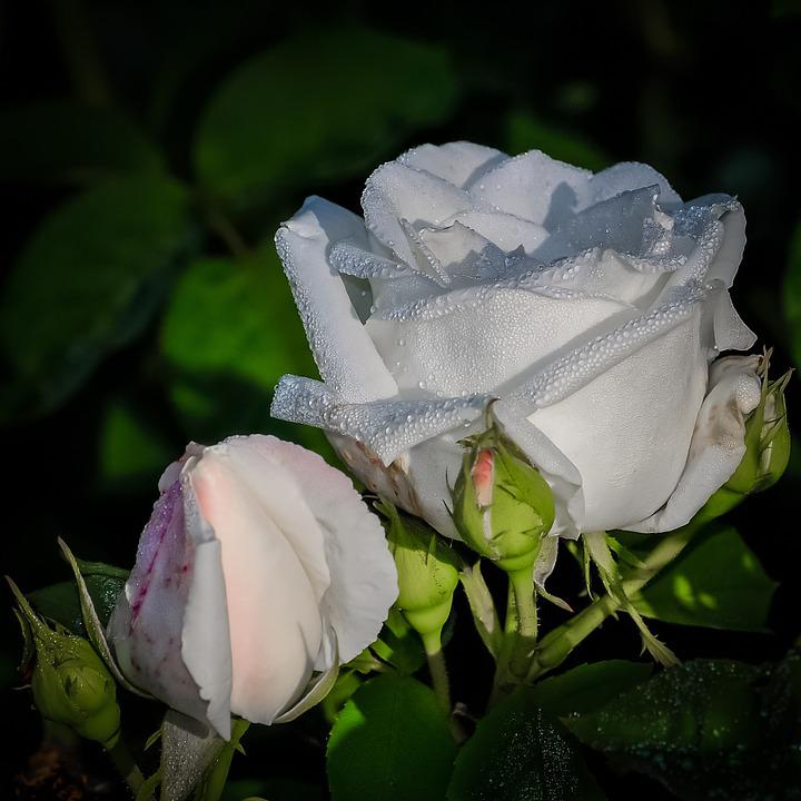 Rose, White, Flower, Beauty, Romantic, Petals, Isolated