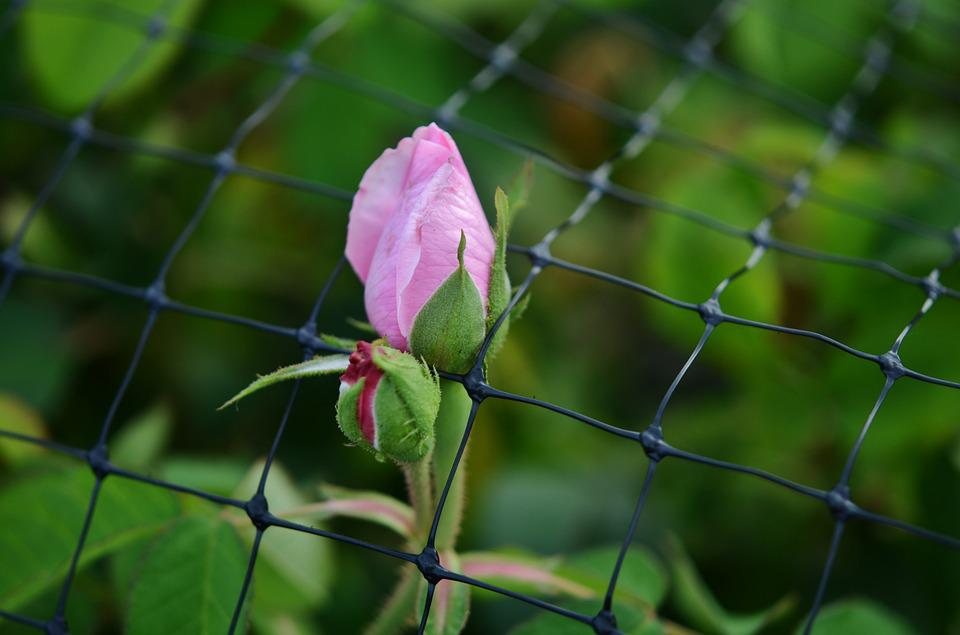 Rose, Fence, Pink, Flower, Nature, Romantic, White