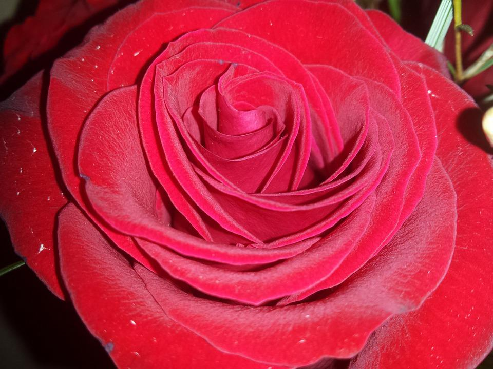 Red Rose, Rose, Love, Flower, Red, Romantic, Valentine