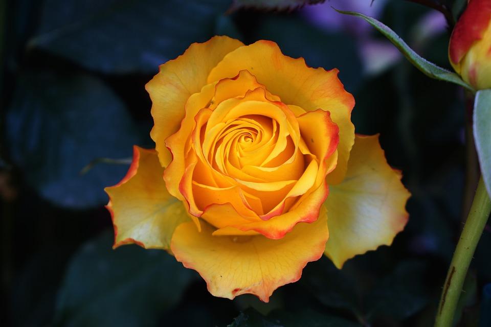 Rose, Flower, Petal, Romantic, Nature, Orange, Yellow