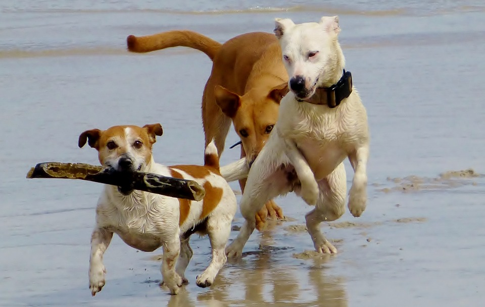 Dogs, Beach, Play, Batons, Race, Romp, Run, Friends