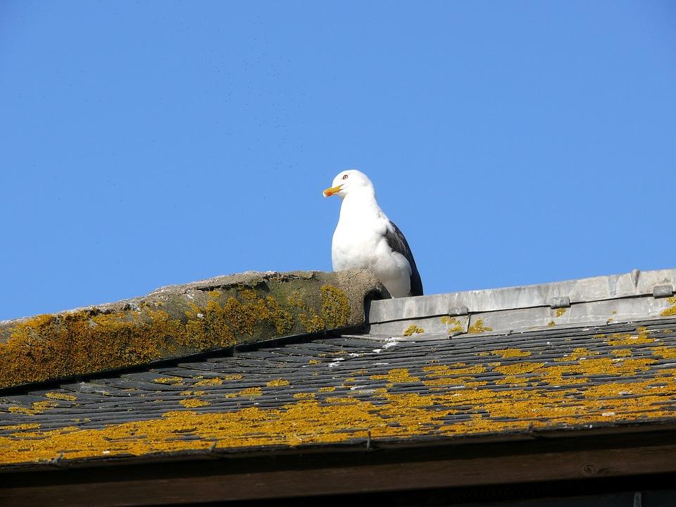 Bird, Roof, Mont Saint Michel, France