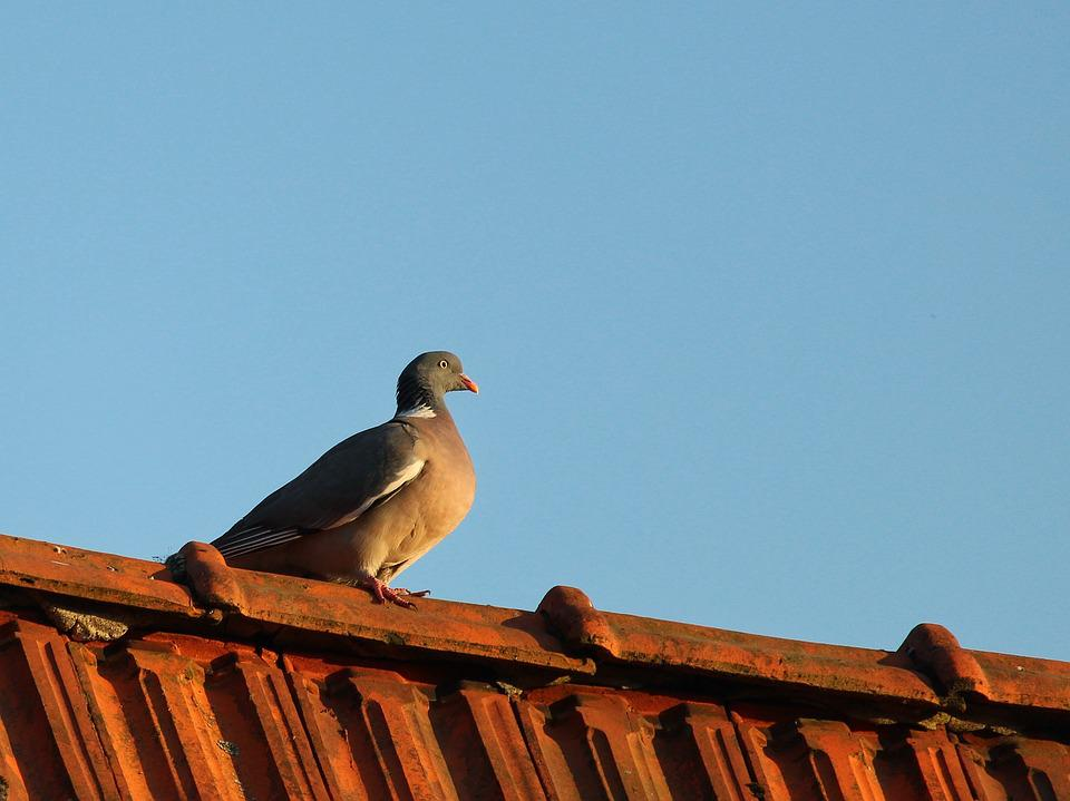 Dove, Roof, Pigeon On The Roof, Bird, Animal, Feather
