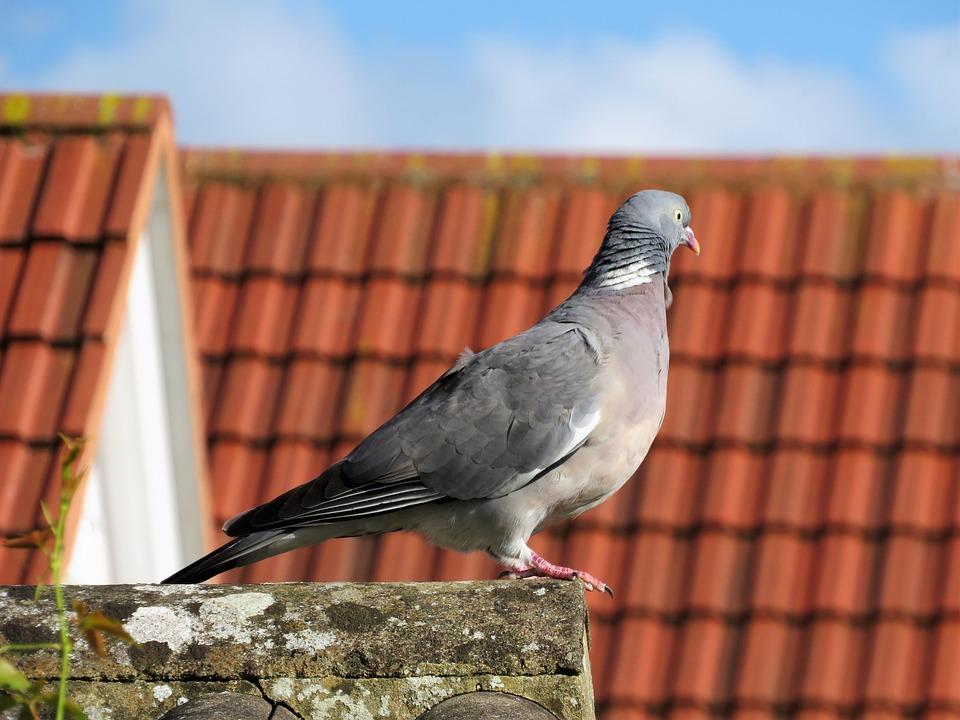 Pigeon, Bird, Roof, Rooftop, Perch
