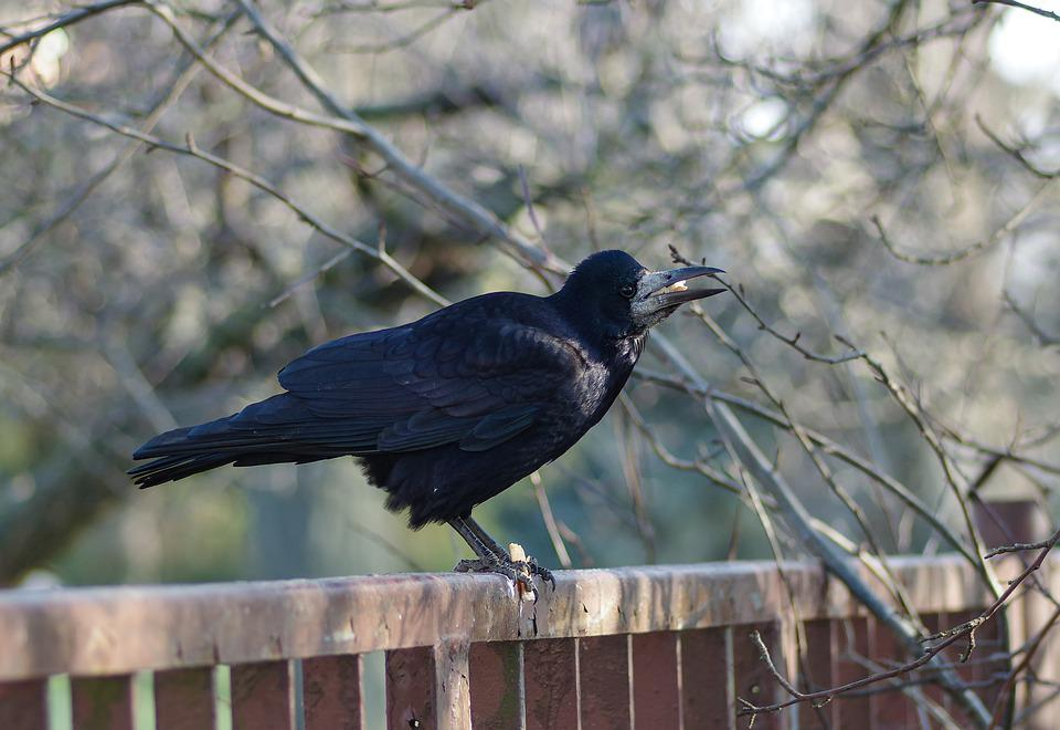 Rook Bird, Bird, Black Bird, Vulture