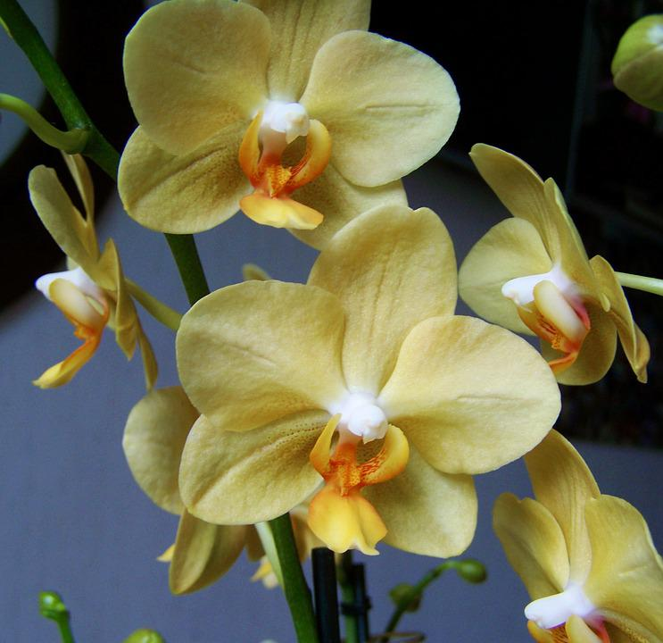 Orchid, Pale Yellow Flower, Room Plant