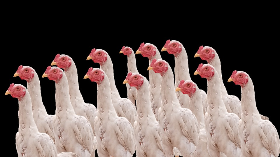 Chickens, Roosters, Hens, Poultry, Farm, Cock, Birds