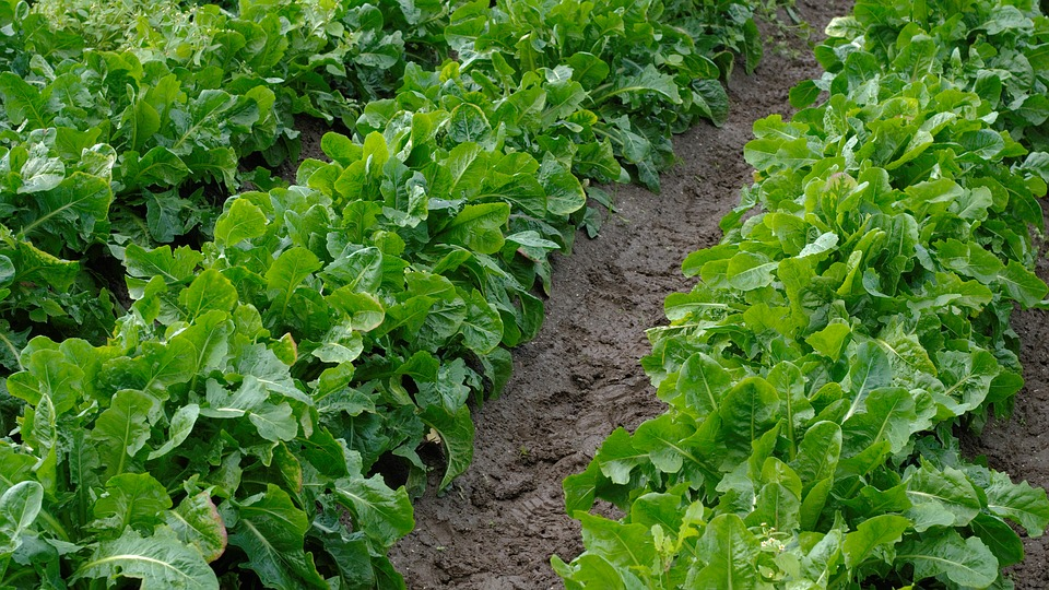 Chicory, Chicory Roots, Vegetables, Arable, Field, Root