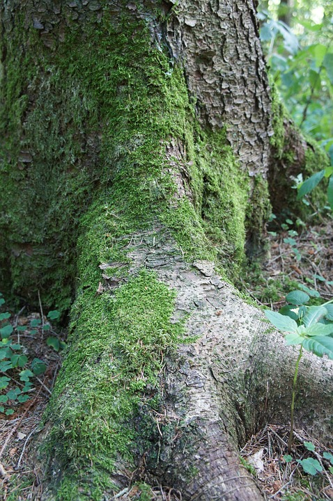 Forest, Tree, Nature, Green, Tribe, Moss, Bark, Root