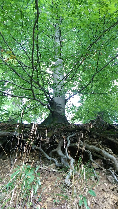 Tree, Root, Slope