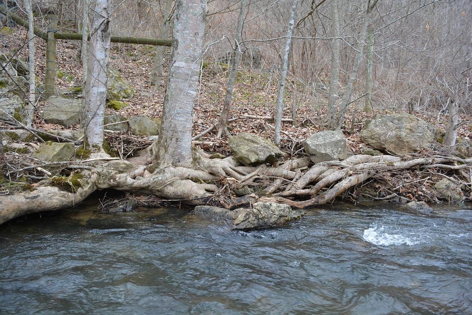 Root, Stream, Tree, Bank, Water, Creek, River, Flow