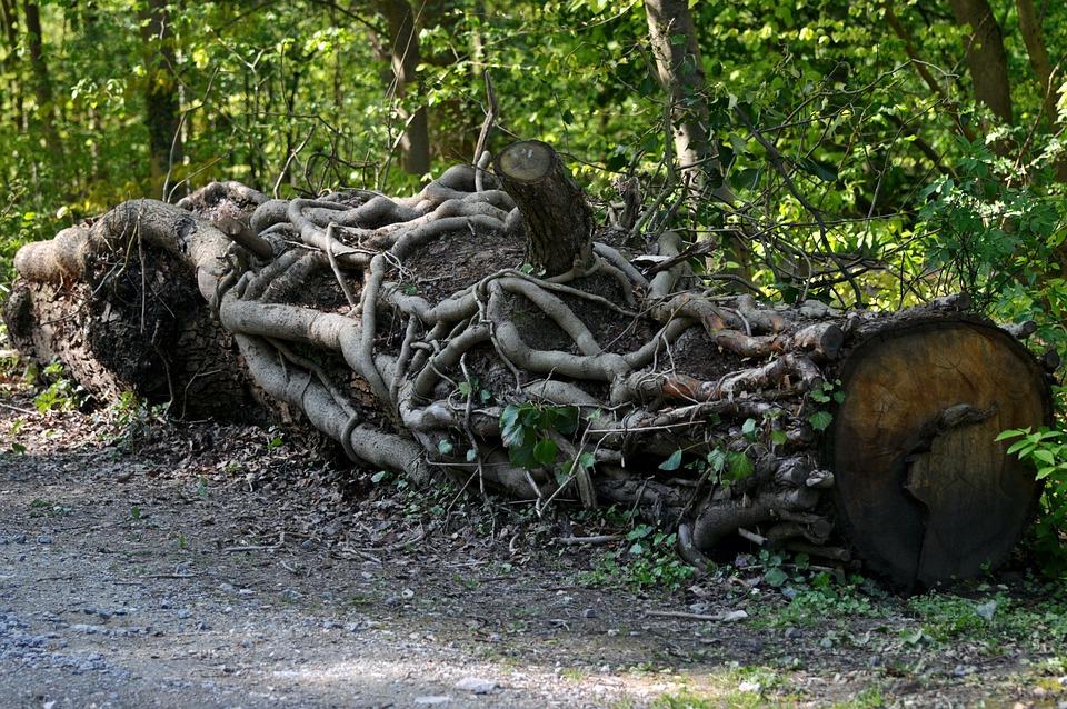 Log, Lying, Root, Tree, Nature, Wood, Tree Trunks