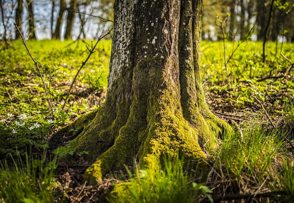 Tree, Trunk, Moss, Roots, Bark, Grass, Mossy, Forest