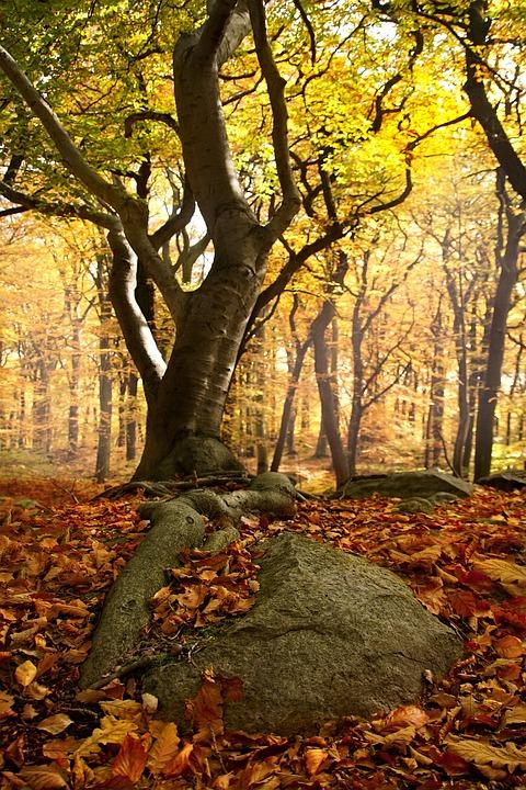 Beech Forest, Roots, Forest, Beech, Nature, Tree, Light