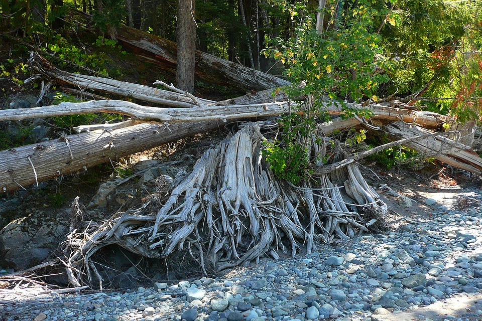 Trees, Fallen, Dead, Roots, Exposed, Decay, Forest
