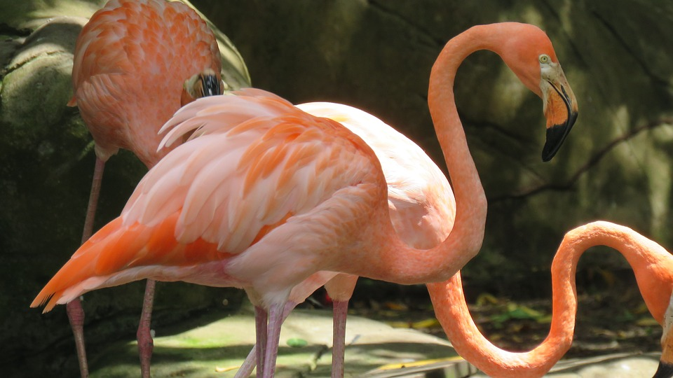 Flamingo, Ave, Animal, Rosa, Peak, Feathers, Nature