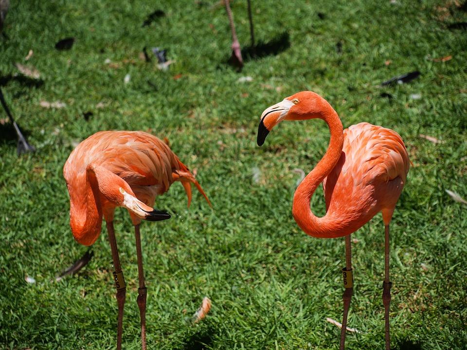 Flamenco, Rosa, Bird