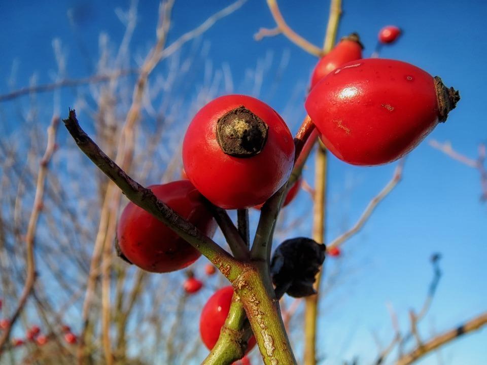 Rosa Cantina, Plant, Bulb, Growth, Spring, Springtime