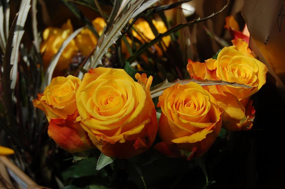 Flower, Petal, Nature, Yellow Roses, Yellow Rose, Rosa