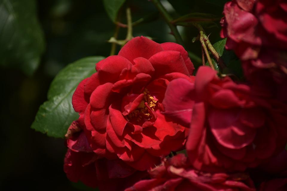 Flower, Plant, Rosa, Nature, Spring